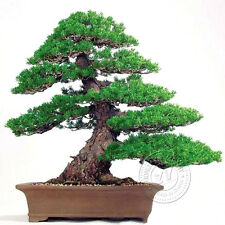 2 Bags 2Pcs Landscape Pine Tree Seeds Bonsai Potted Plant Fresh Air Gardening