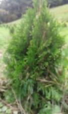 "1 Emerald Green Arborvitae Tree Thuja Occidenatlis 'smaragd' 6""-10"" Seedling"
