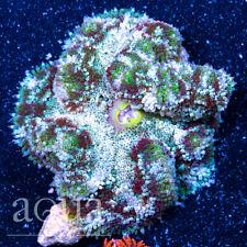 New listing Asd - 078 Dark Souls Maxi Mini Anemone - Wysiwyg - Aqua Sd Live Coral Frag
