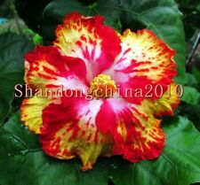 """Local Farmer """"Giant Hibiscus Exotic Coral Flowers 50 Seeds"""" Rare Colors Rose Red"""