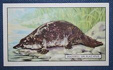 PLATYPUS      Superb Original Vintage Card