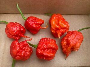 Lot of 6 (1/2 DOZEN) FRESH PICKED CAROLINA REAPER PODS Worlds Hottest Pepper