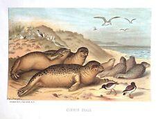 1885 Prang Chromo Seals on the Beach Sea-lions/Walrus Wonderful Print L@K!