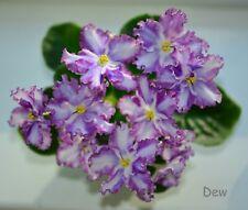 Rus / Ukr African Violet Chimera Pearl Dew - Plant in Bloom!