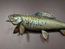 Arctic Grayling Taxidermy Large Wall Mount Fish original, not a repro