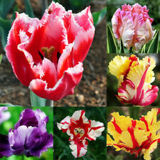 Mixed Color Beautiful Rare Parrot Tulip Seed Home Garden Yard Decora HOT Perfect