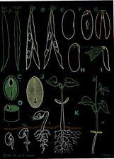 Zoología School Póster Jung-Koch-Quentell Auzoux el Bean Semillas Planta