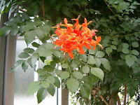 8 Semillas . Cahuato - Tecoma Fulva Garrocha - Flores Jardín - Garden Flowers
