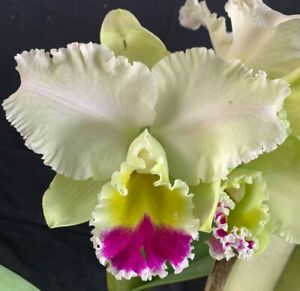 RON Cattleya Orchid Special Div Rlc. Dal's Grace 'G' (4319) ** HUGE PLANT **