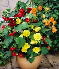 ABUTILON BELLVUE MIX FLOWERING MAPLE 20 FRESH SEEDS FREE SHIPPING