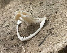 Snake : Viper Skull with fangs : professionally cleaned : fast UK despatch