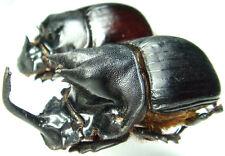 Insect - Catharsius mirabillis - Manyara, Tanzania - Giant Pair 40mm+/- ....!!