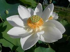 NELUMBO NUCIFERA, WHITE LOTUS - LOTO BIANCO, 5 SEMI