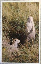 New Mint Unused Prairie Dogs Wall Drug South Dakota Rushmore Photo 1993 Postcard