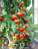 🔥 🍅 Tiny Tim Kirsch-Tomaten Balkon Tomate reichtragend 10 Samen Balkon Kübel