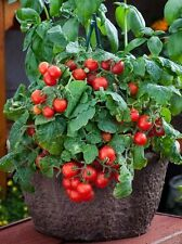 VEGETABLE TOMATO DWARF VARIETY RED ROBIN 100 FINEST SEEDS