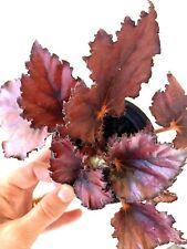 🌿❤️ Begonia Rex Kotobuki - Stunning Shimmering Red Foliage.