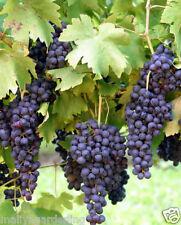 Live Sweet Black Grapes Vine fruit Plant - 1 Healthy Plant