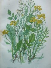 ANTIQUE PRINT DATED C1860 COMMON WATER CRESS ANNUAL YELLOW CRESS ANNE PRATT ART