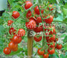 🔥 🍅 Wild-Tomate aus Ecuador **** Mini Tomaten **** 10 Samen