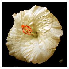 """White Hibiscus Portrait 12"""" x 12"""" Fine Art Print Floral Garden Hawaiian Flower"""