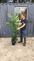 20 Cherry Laurel / Prunus Rotundifolia Hedging Plants 175 +- 6ft +- *Seconds*