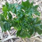 Rare Philodendron ** LITTLE ATOM ** Indoor/ shade Plant