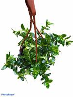 "Goldfish Plant - Hanging Basket - 6"" Pot"