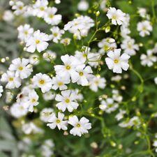 Flower - Gypsophila Elegans - Covent Garden Appx 3000 seeds - Baby's Breath