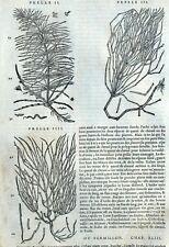Planta Cola De Caballo Bermellón Botánica Matthioli Mattioli Dioscorides