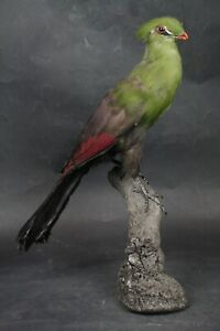 Taxidermy-hunting-chasse-präparat- Knys. Tura. with permit
