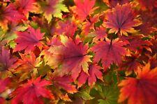 Korean Maple - Acer pseudo-sieboldianum - Seeds - Bonsai - Combine Shipping