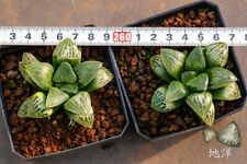 Succulent Haworthia 골든타임(Golden Time)-01-06-One plant