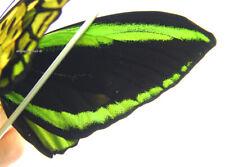 Unmounted Butterfly/Papilionidae - Ornithoptera priamus poseidon, PAIR 2