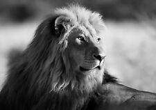 Framed Print - Black & White Lion (Picture Wild Animal Tiger Leopard Jaguar Art)
