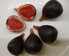 schwarze Baby - FEIGE  Zucker Feige, Ficus carica, sehr süß klein Mini black