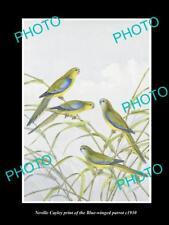 NEVILLE CAYLEY VINTAGE PRINT OF AUSTRALIAN BIRDS, 16x11, BLUE WINGED PARROT