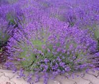ENGLISH LAVENDER Lavandula Angustifolia - 2,000 Bulk Seeds