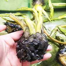 Nymphaea Cherry Bryan Tropical Water Lily Tuber Pink Live Aquatic Plant B2G1
