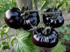 """TOMATE schwarz lila Fleisch  """"Black Beef"""" , würzig, im Shop über 50 Sorten"""