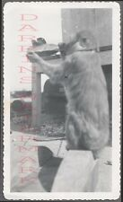 Vintage Photo Unusual Chimpanzee Monkey Drinking Coca Cola Bottle 756260