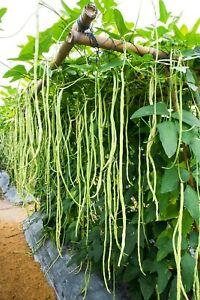 seltene Samen Meterbohne die wächst Meter lang und füllt den Teller randvoll.
