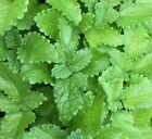 20 + Lemon Balm Seeds Herb Perrenial Mosquito Insect Repellent USA FREE SHIPPING