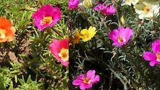 1000+ Samen Portulaca grandiflora - Portulakröschen - Farb-Mix