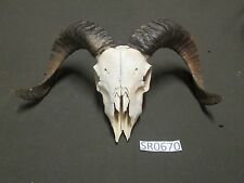 Small ram skull westeren decor hill country outdoors Sr0670