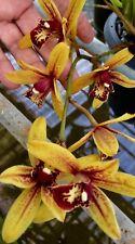 Cymbidium Grammatophyllum Hybride ´Red Summer´ NEW Orchidee Orchideen
