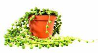 "String of Pearls, Senecio rowleyanu - 4"" Pot House Plants Gift Holiday Easy Care"