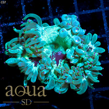 New listing Asd - 125 Space Ghost Elegance Coral - Wysiwyg - Aqua Sd Live Coral Frag