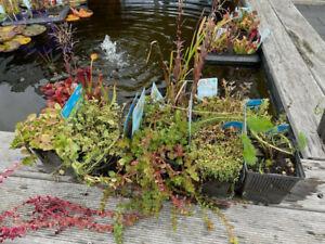 Sauerstoffpflanzen Set - 5 Teichpflanzen - Topf 11x11 cm