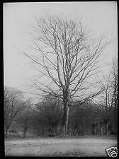 Glass Magic Lantern Slide BEECH NR AMBRESBURY BANKS EPPING FOREST C1890 PHOTO